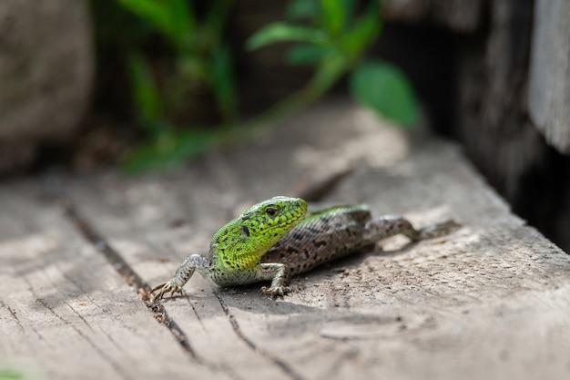 Le lézard vert est allongé sur une planche en bois