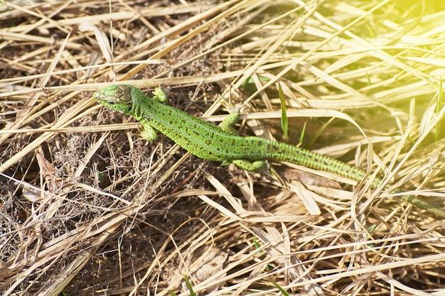 Un lézard vert rampant sur une herbe sèche se bouchent.