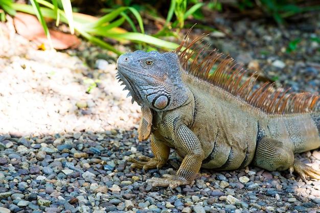 Lézard vert sauvage ou iguane dragon barbu reptile animal été ensoleillé en plein air se trouve près de l'herbe sur fond naturel