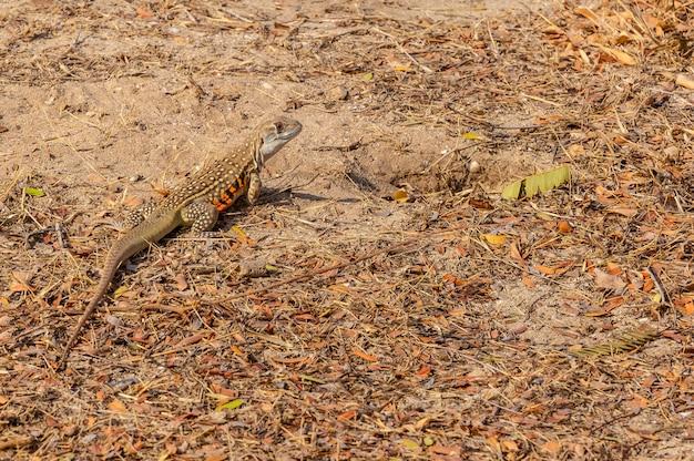 Lézards au sol cherche de la nourriture pendant la journée