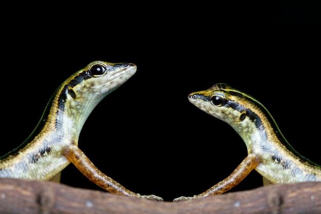 Lézards sur branche avec fond noir
