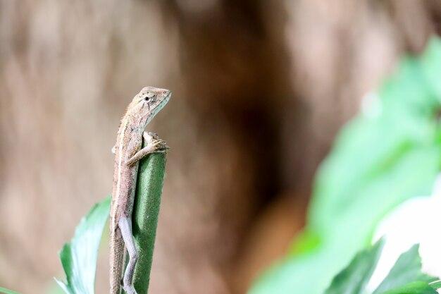 Les lézards grimpent sur l'arbre du haut pour chercher de la nourriture d'un endroit élevé