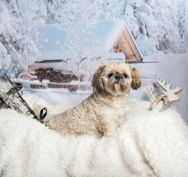 Lhassa apso assis sur un tapis de fourrure en scène d'hiver