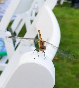 La libellule appartient à l'ordre odonata infraorder anisoptera