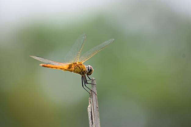 Libellule assise sur un bâton, libellule rouge assise sur un bâton d'arbre sec, libellule assise sur un bâton dans un chaud soleil d'été
