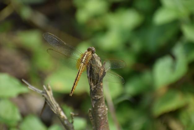 Libellule assise sur un bâton libellule rouge assise sur un bâton d'arbre sec libellule assise sur un bâton