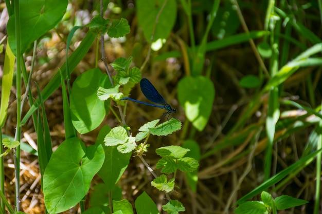 La libellule bleue a atterri sur une feuille verte dans le pré.