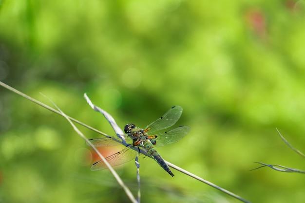 Une libellule brillante est assise sur une paille