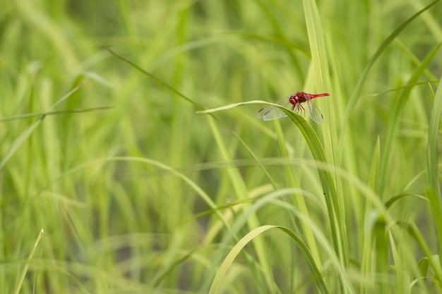 Libellule sur champ vert