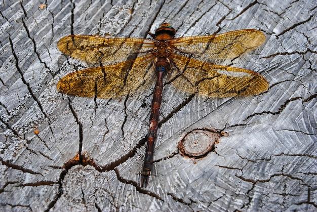 Libellule de dard à nervures rouges sur une planche en bois
