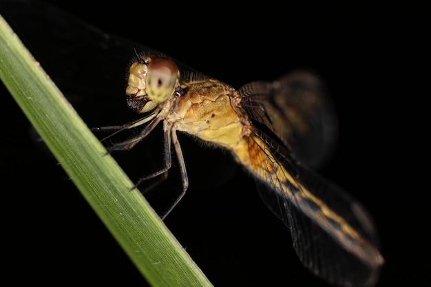 Libellule du sous-ordre des anisoptères