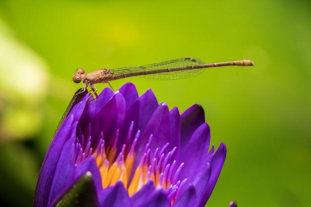 Une libellule jaune sur un lotus violet