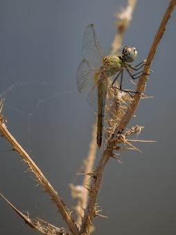 Libellule jaune photographiée dans leur environnement naturel