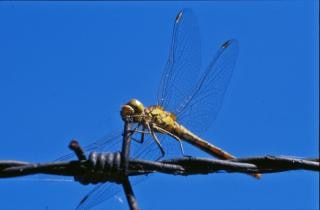 Libellule, macro, ailes, bogue