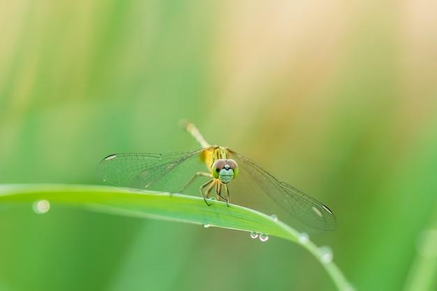 Libellule macro dans la nature sur fond flou vert
