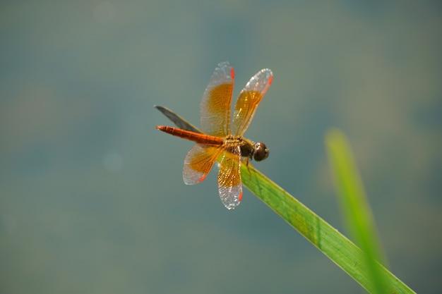 Libellule orange est sur la feuille d'herbe