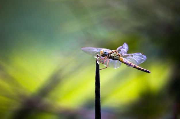 Libellule perchée sur une tige sur un beau fond de natures