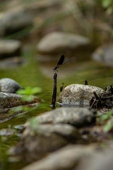 Libellule Pose Sur Les Rochers Du Ruisseau En Sardaigne Photo Premium