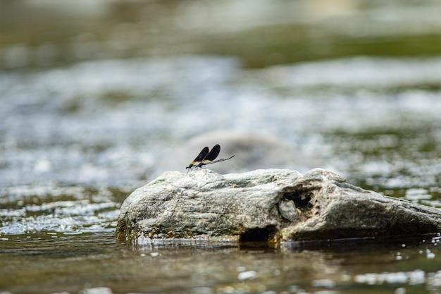 Libellule pose sur les rochers du ruisseau en sardaigne