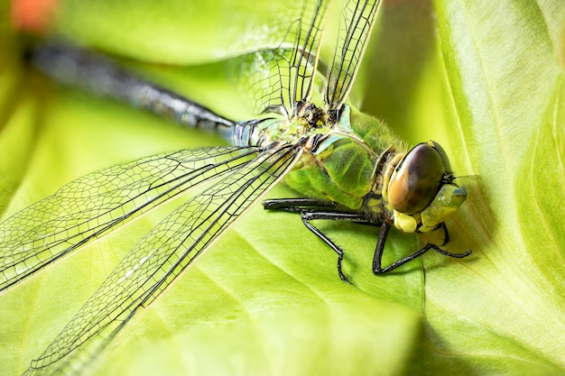 Libellule. prise de vue macro. fermer. parties de l'insecte en grossissement.
