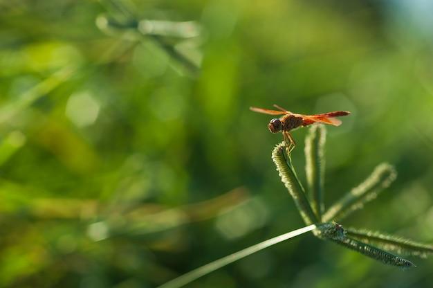 Libellule rouge dans le champ d'herbe