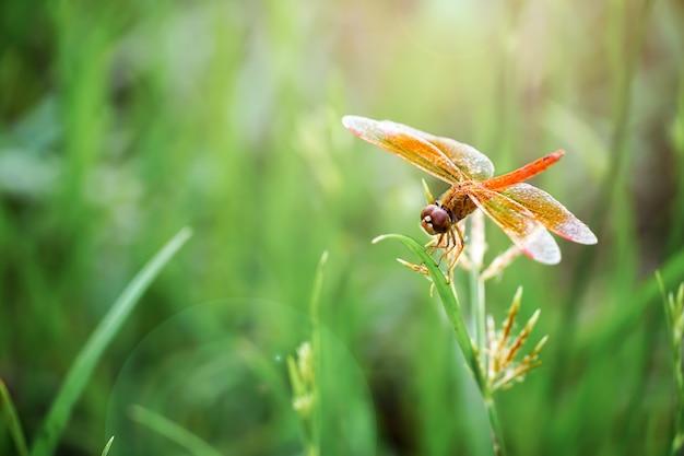 La libellule rouge est assise sur l'herbe au soleil du matin