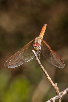 Libellule rouge photographiée dans leur environnement naturel