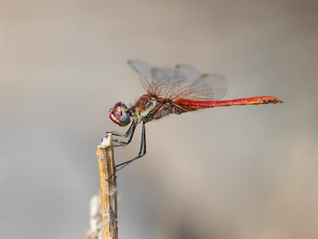 Libellule rouge photographiée dans son environnement naturel.