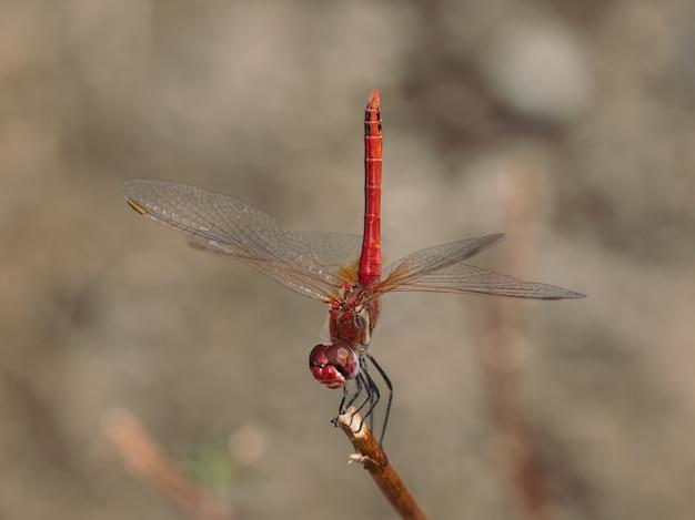 Libellule rouge photographiée dans son environnement naturel