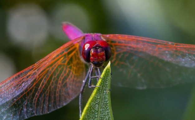 Libellule rouge sur plante close up