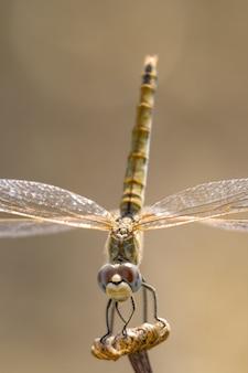 Libellule (sympetrum sp)