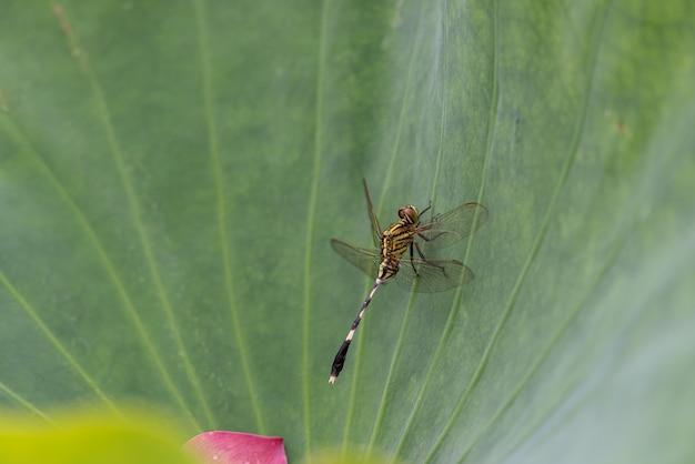 Libellules sur des feuilles de lotus vertes