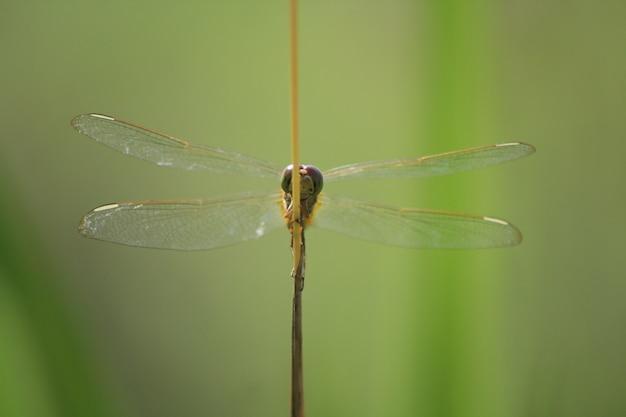 Libellules perchées sur l'herbe