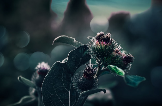 Libre d'une fleur de silybum avec un naturel flou