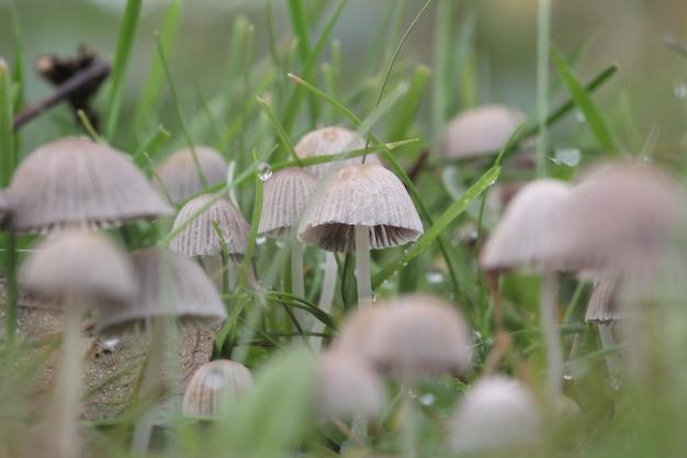 Libre d'une grappe de champignons des champs