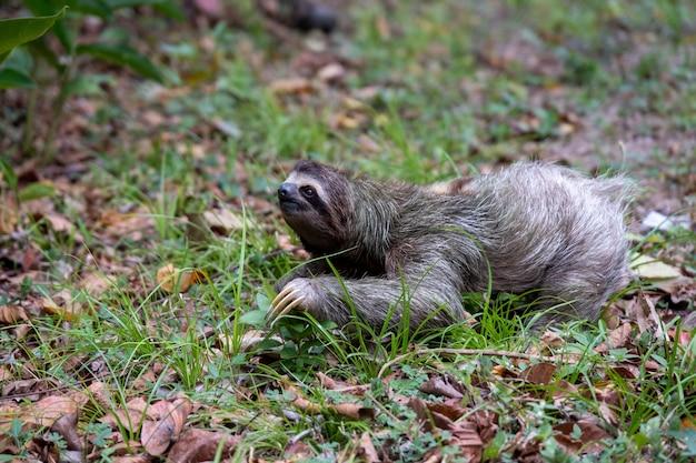 Libre d'un paresseux à deux doigts sur le sol recouvert de feuilles et d'herbe sous la lumière du soleil pendant la journée