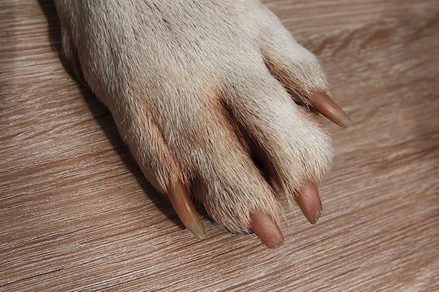 Libre de patte american staffordshire terrier sur marbre