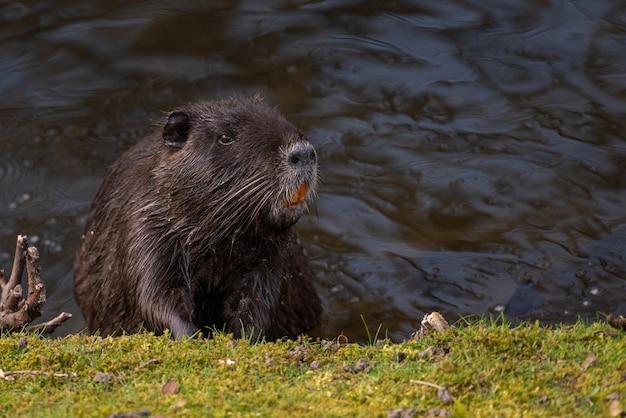 Libre d'un ragondin se reposant dans l'eau au bord de la rivière
