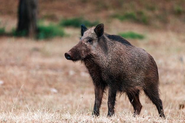 Libre d'un sanglier dans le parc naturel des sierras de cazorla, segura et les villas, espagne