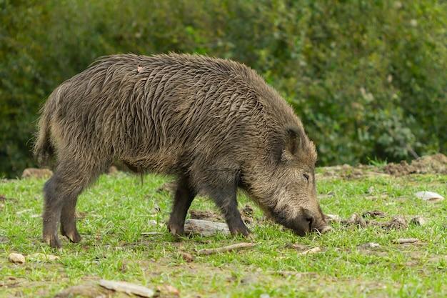 Libre d'un sanglier à la recherche de nourriture dans la nature sauvage, barcelone, espagne