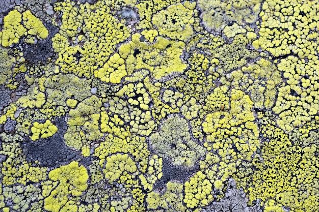 Le lichen jaune signifie pas de pollution de l'air