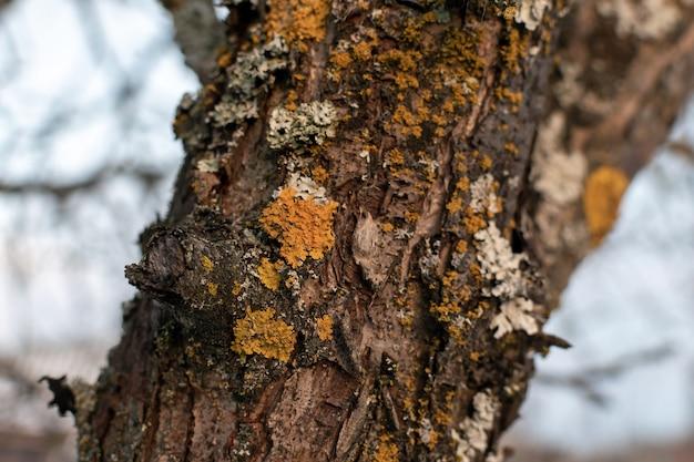 Lichen de parmelia sulcata sur un tronc d'écorce d'arbre