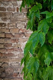 Lierre, croissant, vieux, mur brique