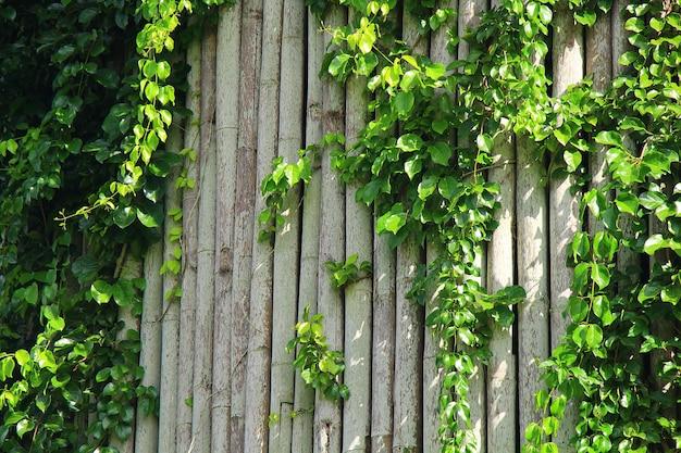 Lierre sur le mur de bambou pour la décoration naturelle avec concept de style fraîcheur