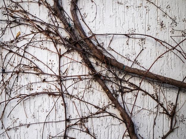 Le lierre pousse sur le mur d'une maison. le mur est couvert de branches