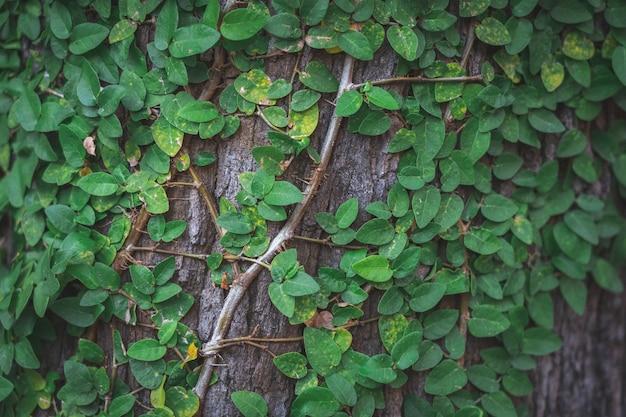 Lierre tendu jusqu'à l'écorce des arbres donnant un sentiment naturel populaire pour décorer le jardin