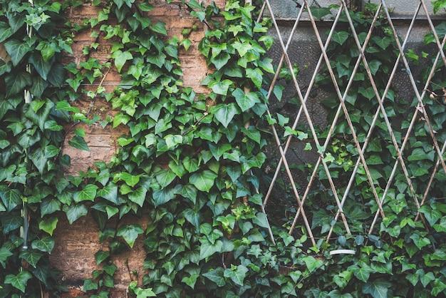 Lierre vert escalade la façade d'une usine abandonnée