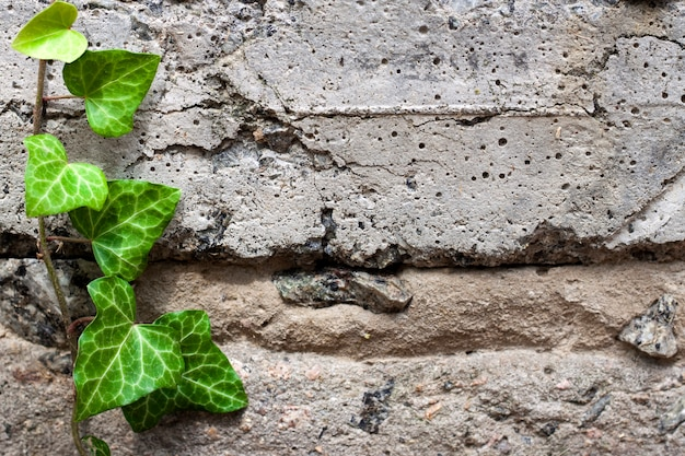 Lierre vert frais de plus en plus à travers un vieux mur de béton texturé