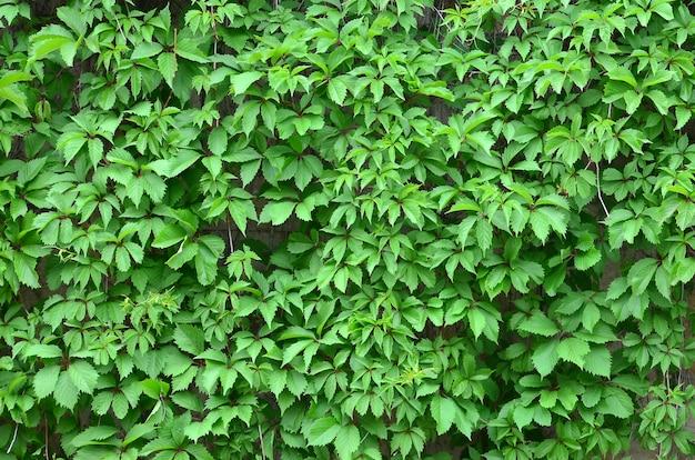 Le lierre vert se développe le long du mur beige de carreaux peints. texture de fourrés denses de lierre sauvage
