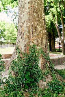 Le lierre vert tisse le long du tronc d'un grand platane
